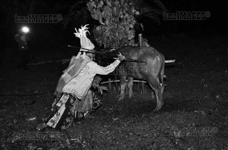 Balia, Tradisi Penyembuhan Suku Kaili Tetua adat menombak kerbau yang akan disembelih sebagai pengorbanan untuk penyembuhan